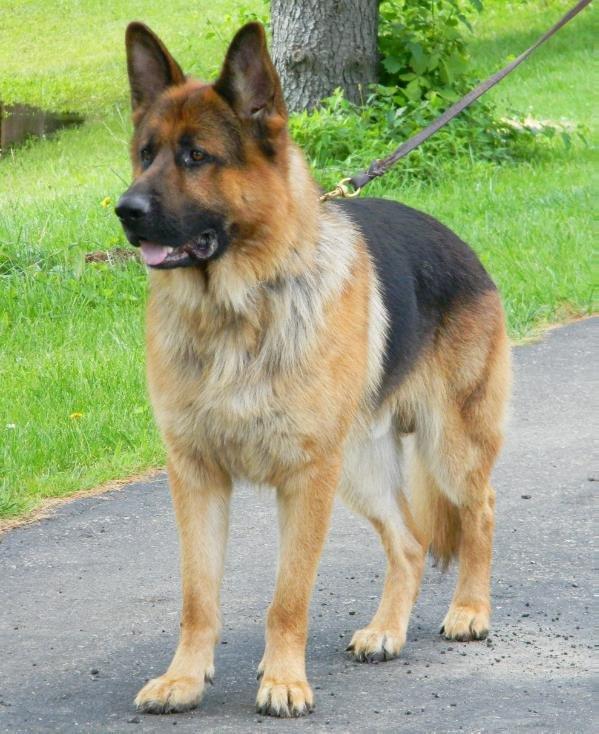 Eikelbergs Maximum Canine